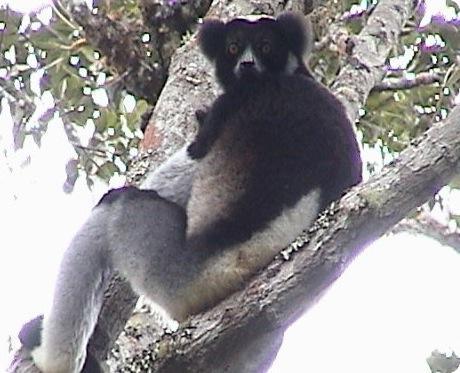 Indri Indri Lemur in Madagascar