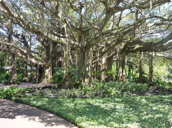 80 year old banyan tree at LEGOLAND Florida